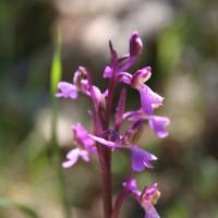 Alla ricerca delle orchidee spontanee